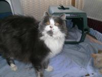Domestic Short Hair - Sandi - Medium - Adult - Female -