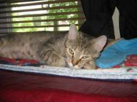 Domestic Short Hair - Sandie - Medium - Adult - Female