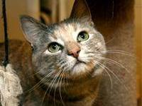 Domestic Short Hair - Sara - Small - Young - Female -
