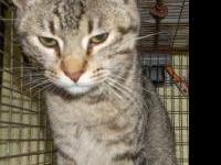 Domestic Short Hair - Sarah - Petco - Medium - Adult -