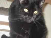Domestic Short Hair - Sarge (super) - Large - Senior -