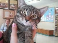 Domestic Short Hair - Savanah - Medium - Young - Female