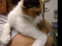 Domestic Short Hair - Savannah 1 - Small - Young - Cat