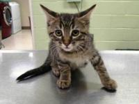Domestic Short Hair - Sawyer - Small - Baby - Male -