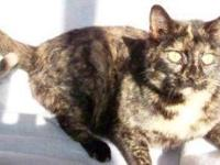 Domestic Short Hair - Scarlet - Medium - Adult - Female
