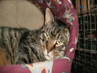 Domestic Short Hair - Scotch - Large - Adult - Male -