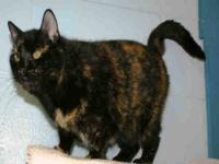 Domestic Short Hair - Scout - Large - Adult - Female -