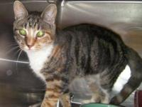 Domestic Short Hair - Serena - Small - Young - Female -