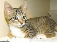 Domestic Short Hair - Sergio - Small - Young - Male -