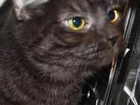 Domestic Short Hair - Shadow - Large - Adult - Female -
