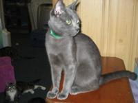 Domestic Short Hair - Shadow - Medium - Adult - Male -