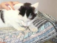 Domestic Short Hair - Shadow - Medium - Young - Female