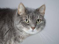 Domestic Short Hair - Shadow - Small - Adult - Male -