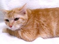 Domestic Short Hair - Shanise *free To Approved Home* -