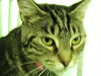 Domestic Short Hair - Shelley - Medium - Adult - Female