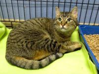 Domestic Short Hair - Shelly - Medium - Adult - Female