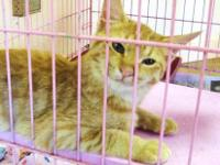 Domestic Short Hair - Shelly - Medium - Young - Female