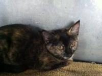 Domestic Short Hair - Sherri - Small - Young - Female -