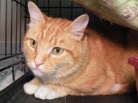 Domestic Short Hair - Shorty - Medium - Adult - Male -
