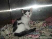 Domestic Short Hair - Shrimp - Small - Baby - Male -