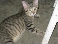 Domestic Short Hair - Shrimpy - Small - Baby - Female -