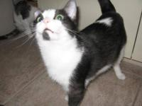 Domestic Short Hair - Sienna - Small - Adult - Female -