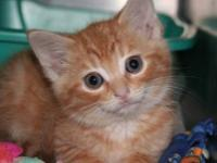 Domestic Short Hair - Simba - Small - Adult - Male -