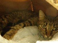 Domestic Short Hair - Simi - Medium - Adult - Female -