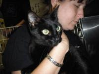 Domestic Short Hair - Sipsey - Small - Young - Female -
