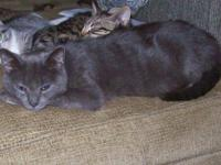 Domestic Short Hair - Smiley - Small - Young - Female -