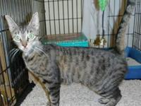 Domestic Short Hair - Smoke - Medium - Young - Female -