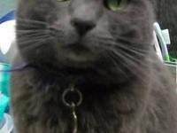 Domestic Short Hair - Smokey - Large - Adult - Cat