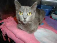 Domestic Short Hair - Smokey - Small - Young - Male -