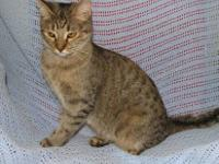 Domestic Short Hair - Sophie - Small - Adult - Female -
