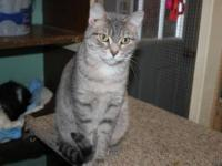 Domestic Short Hair - Soxie - Small - Adult - Female -