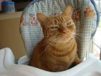 Domestic Short Hair - Spencer - Small - Adult - Male -