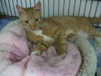 Domestic Short Hair - Spice - Medium - Baby - Male -