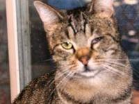 Domestic Short Hair - Spot - Medium - Senior - Female -