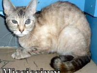 Domestic Short Hair - Star - Small - Adult - Female -