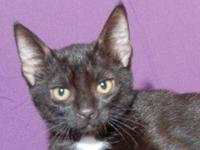Domestic Short Hair - Starsky - Small - Young - Male -