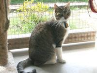 Domestic Short Hair - Stormy - Medium - Young - Male -