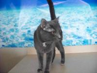 Domestic Short Hair - Stray Cat - Medium - Adult - Male