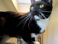 Domestic Short Hair - Stray - Small - Adult - Female -