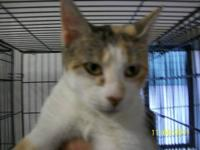 Domestic Short Hair - Sugar B - Medium - Adult - Female