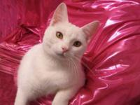 Domestic Short Hair - Sugar - Medium - Adult - Female -