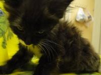 Domestic Short Hair - Sugar - Small - Senior - Female -