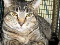 Domestic Short Hair - Sweetie - Petsmart - Medium -