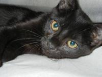 Domestic Short Hair - Sweetie - Small - Young - Female