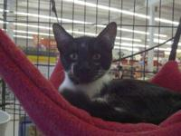 Domestic Short Hair - Sylvester - Large - Young - Male