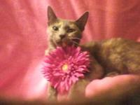 Domestic Short Hair - T-2 - Medium - Young - Female -
